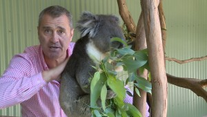 ceva koalas